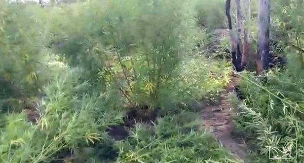 Operação da polícia descobre plantação de maconha no Maranhão.